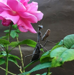Rose mantis blog